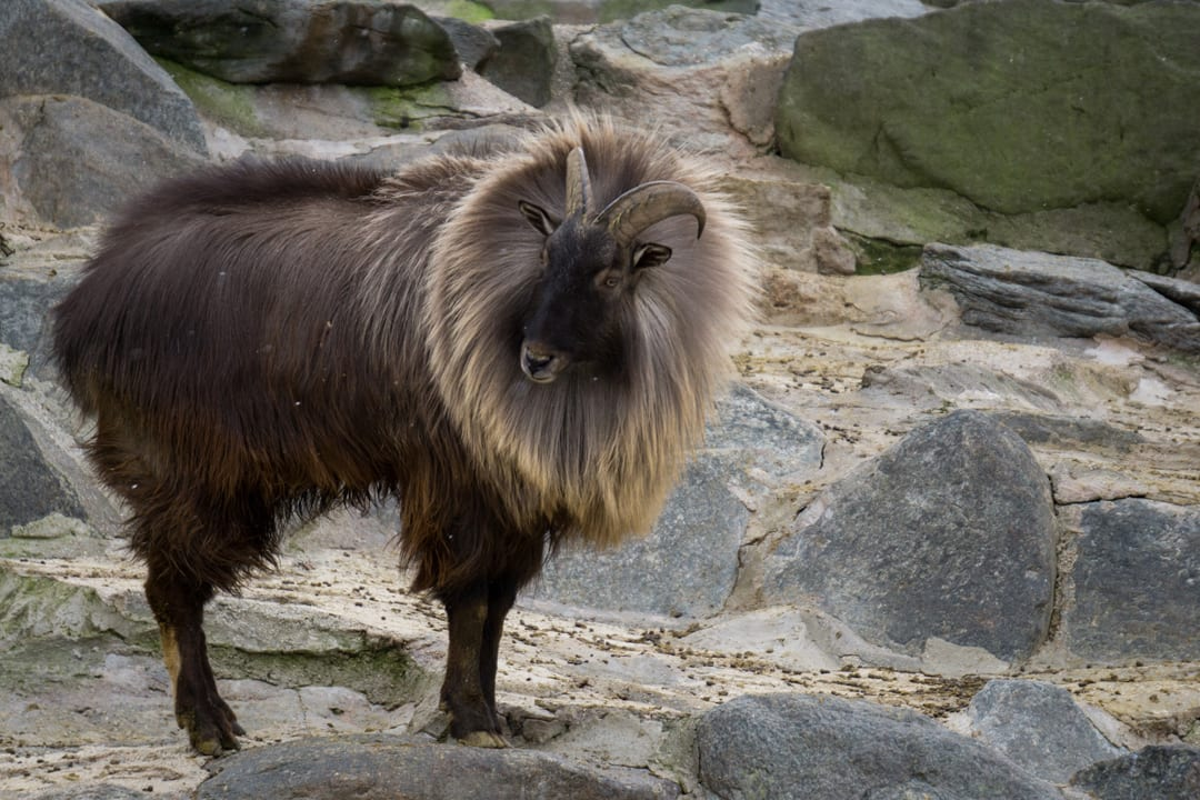 Himalayan Tahr Facts | CRITTERFACTS