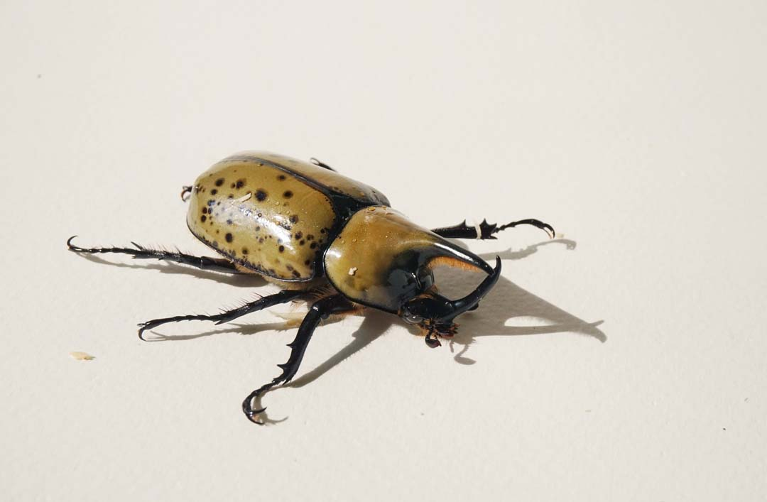 Eastern Hercules Beetle Critterfacts
