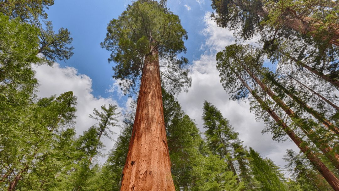 5 Amazing Facts about Giant Sequoia Trees - CRITTERFACTS